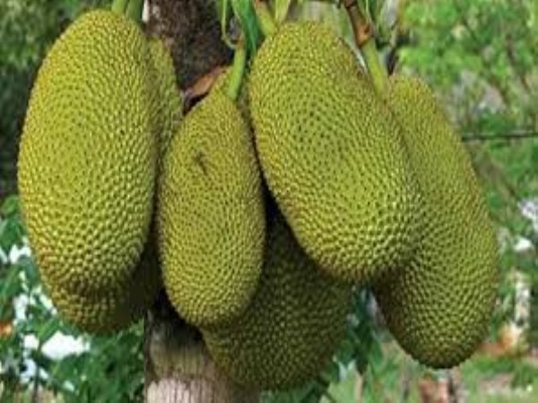 The benefits of jack-fruit also help in the development of masculinity