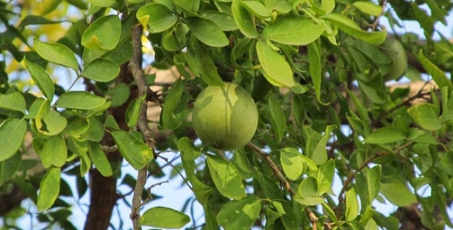 in temple vilva maram fruit have a more health for our body