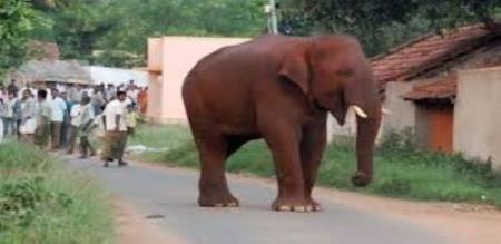 chinnathambi elephant plays with kumki elephants