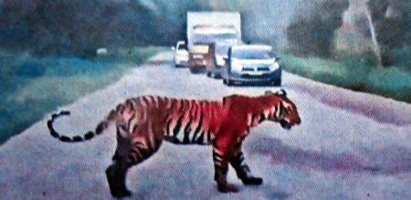 tiger crossed the road