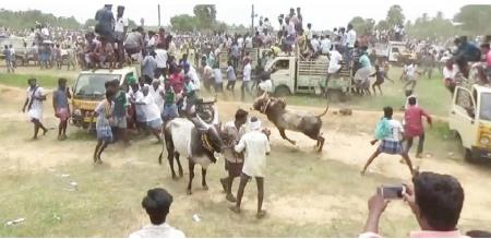 Manjurittu Festival was held at Melur in Madurai district.