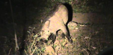 Wild Boar In KMTR