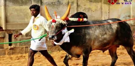 Avaniyapuram prepare for Jallikattu