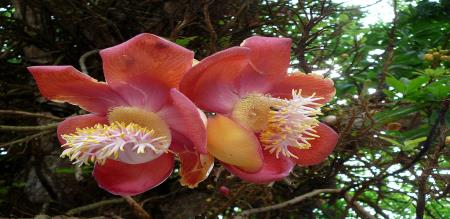 in krishnagiri a nagalinga flower blossom