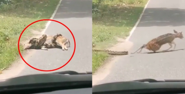 Snake try to eat deer driver helps get out