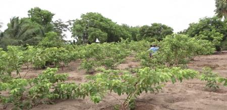10 acre agri land with traditional cultivation
