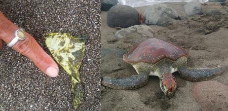 a Tortoise died stomach have plastics