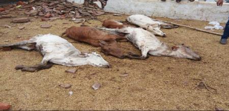 7 cow dead in villupuram