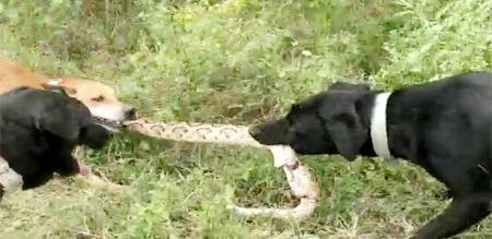 in Coimbatore dog byte snake when try to byte owner
