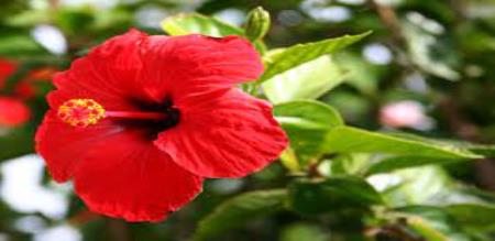 uses of hibiscus