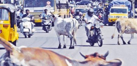 cow making accident in karaikudi