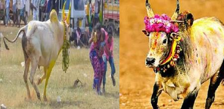 in sivagangai jalikat mother and son saved by jallikat kalai