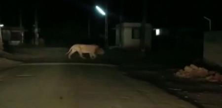 lions on road in gujarat