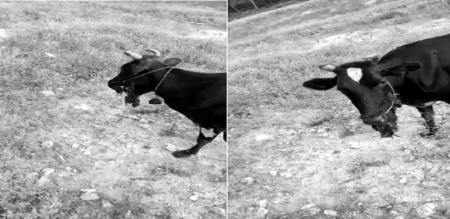 Cow died try to ate Country bomb police investigation in Sathyamangalam Erode