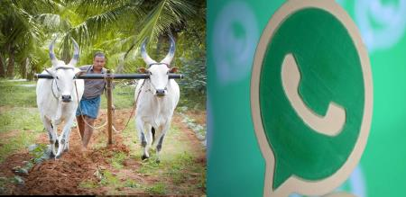 pongal celebration equality of cow and man