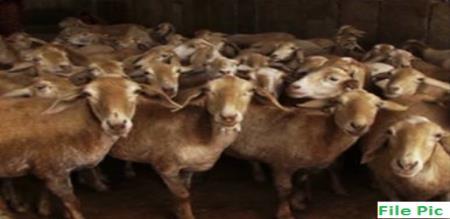 krishnagiri goat drink methanol water and died