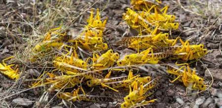 in Somalia vettukili insect problem