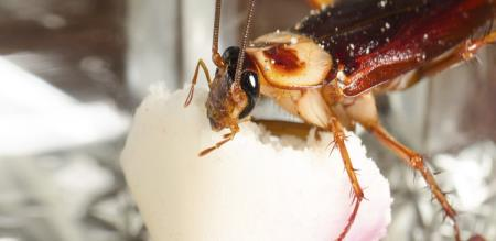 cockroach issue cleared with sugar