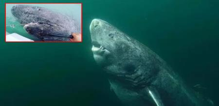ancient shark is discovers by fishers in Greenland sea