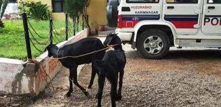 two goats arrested in telangana