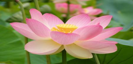 benefits of lotus in tamil