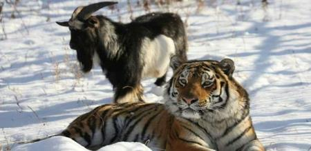 in Russia goat tiger friend goat died