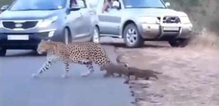 Mother tiger carry baby cross road video