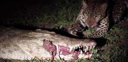 tiger pickup food from crocodile mouth trending video