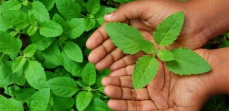 benefits of tulasi