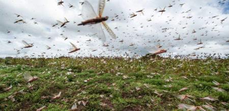 Department of Agriculture tamilnadu announce prevent Locust attack